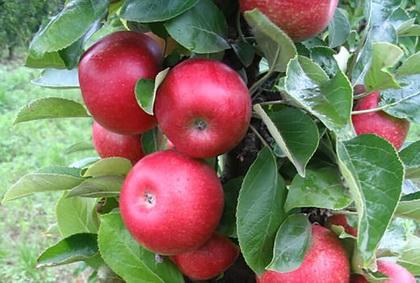 Jabuka-Kraljica voća