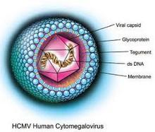 Humani_cytomegalovirus