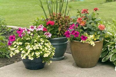 Domaći rastvor za bujno cvetanje biljke